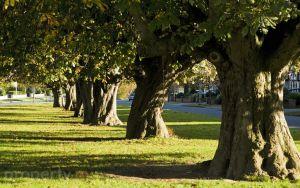 Gallops estate chestnut trees