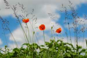 meadow flower poppy wild poppies
